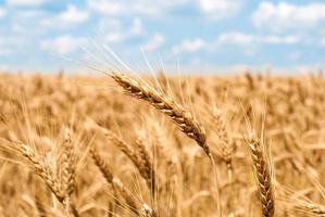 campo de trigo e céu paisagem de verão