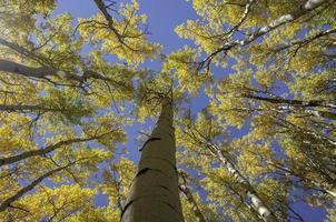 aspen amarelo vibrante contra o céu azul claro foto
