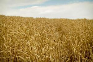 campo de trigo e céu azul com nuvens.