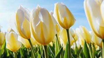 tulipas amarelas em um fundo de céu azul