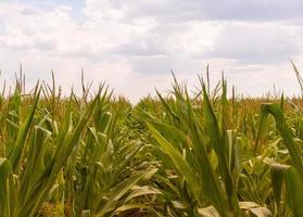 fazenda de milho contra céu nublado foto