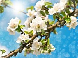 Macieira em flor no céu azul ensolarado