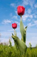 tulipas na frente de um céu azul