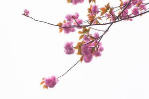 florescendo árvore de cerejeira dupla e céu