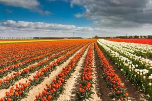 campo de tulipas holandesas