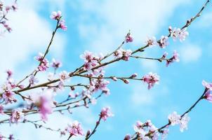 flores de cerejeira - flores rosa sakura em fundo de céu azul