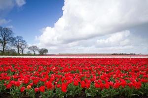 tulipas vermelhas em um campo