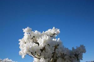 """""""tempestade de neve"""" de azaléia japonesa branca sob um céu azul de perto"""