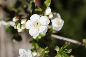 flores de cerejeira azeda, flores de cerejeira sob o céu azul