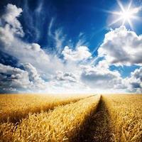 um campo de trigo dourado sob um céu azul nublado