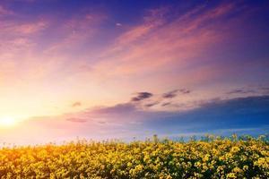 pôr do sol sobre um campo de flores amarelas.