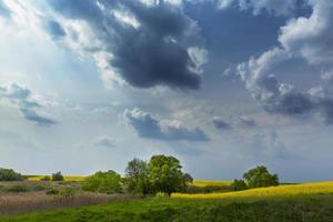 campos de canola na primavera