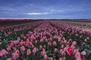 céu tempestuoso acima de um campo de tulipas holandesas rosa e vermelhas