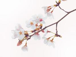 cerejeira yoshino em plena floração no fundo do céu