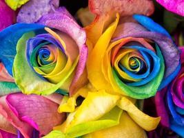 close-up de rosas arco-íris