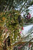 árvore de óleo de palma.