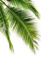 folhas de coqueiro isoladas em fundo branco foto