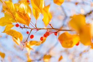 fundo de outono - folhas amarelas, frutas vermelhas e céu azul