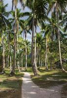 vista em perspectiva dos coqueiros foto