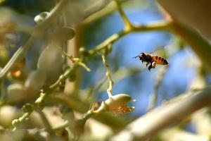 abelha voando ao redor da palmeira betel no jardim