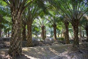 plantação de dendezeiros