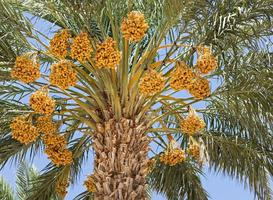 palmeira em uma plantação de tâmaras foto