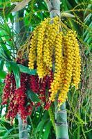 frutos de palmeira de tamanho pequeno