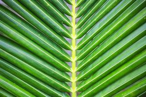 folha de palmeira de coco