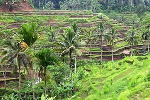 plantação de arroz em bali, indonésia