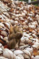 grande macaco asiático foto
