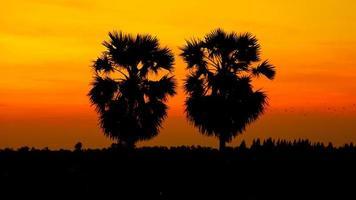 silhueta da palmeira de açúcar com o nascer do sol. foto
