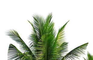 closeup folhas de coqueiro isoladas no fundo branco