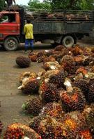 descarregando frutas de óleo de palma