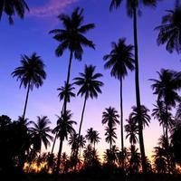 silhueta de coqueiros