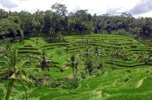 terraços de arroz perto da cidade de ubud, bali, indonésia