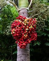 fruta vermelha madura de noz de betel foto