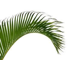 folhas de palmeira verdes isoladas no fundo branco