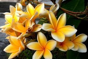 flor de frangipani florescendo