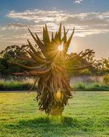 nascer do sol e Aloe vera. África do Sul. 7 de dezembro de 2014