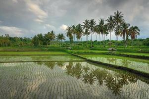 reflexo nos campos de arroz