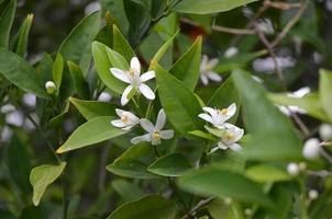 flores de laranjeira brancas e perfumadas contra folhas verdes escuras