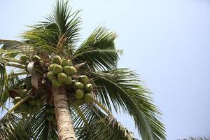 frutos de coco crescem na árvore