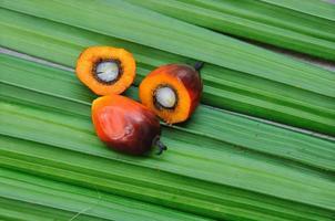 frutos de óleo de palma