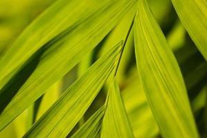folhas largas de uma palmeira