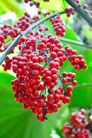 fruto de bétele, palma semente.