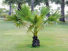 palmeira pequena