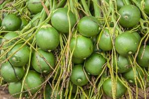 palmeira de betel
