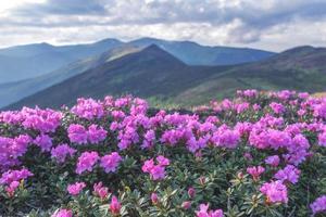 rododendro foto