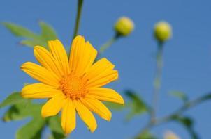 flor de calêndula (tithonia diversifolia)