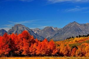 álamos alaranjados brilhantes sob montanhas cobertas de neve.
